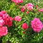 Crimson flower carpet rose
