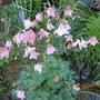 pink columbine, Ontario Canada