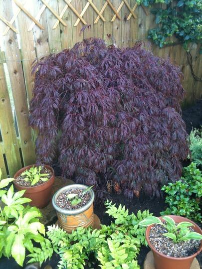 Acer palmatum - unknown (Acer palmatum dissectum 'Crimson Queen')