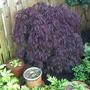 Acer_palmatum_side_garden