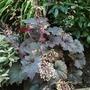 Heuchera_side_garden