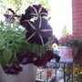 ontario canada...potted plants