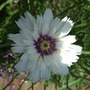 White_catananche_flower