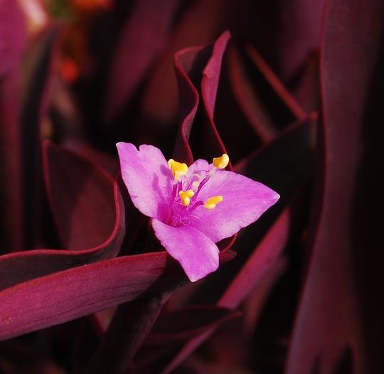 """Tradescantia """"Purple Sabre"""" (Tradescantia pallida)"""