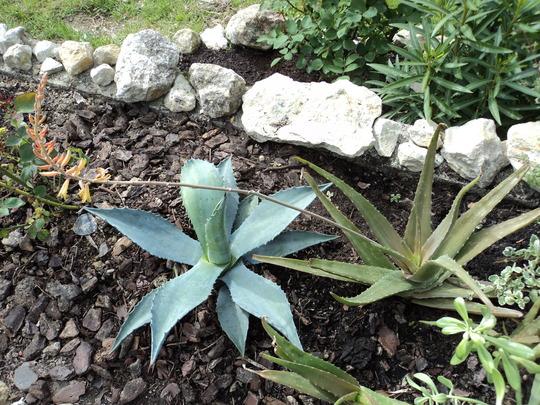 Aloe vera flower stalk, perching on the tip of the agave (Aloe vera (Aloe))