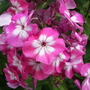 Phlox Pink Eye Flame (Phlox paniculata (Perennial phlox))