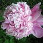 A garden flower photo (Paeonia 'Monsieur Jules Elie')