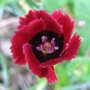 A garden flower photo (Dianthus 'Red Dwarf')
