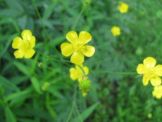A garden flower photo (Ranunculus acris (Altindugme))