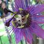 A garden flower photo (Passiflora)