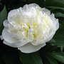 A garden flower photo (Paeonia ' Duchess de Nemours')