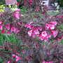Weigela (Weigela florida 'Foliis Purpureis')