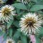 Clematis seed heads (Clematis 'Miss Bateman')