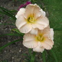 Hemerocallis_daylily_whipped_cream