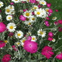 Daisies_and_pinks2