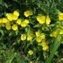 Evening primroses - Ozark sundrops