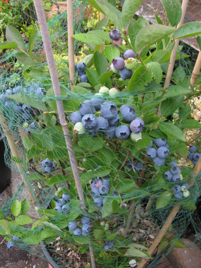 Blueberry plant delivers