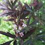 Black lace elderberry bloom July 14 2011