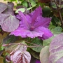 Cercis Canadensis 'Forest Pansy' and Clematis 'Honora'