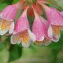 abelia (Abelia floribunda)