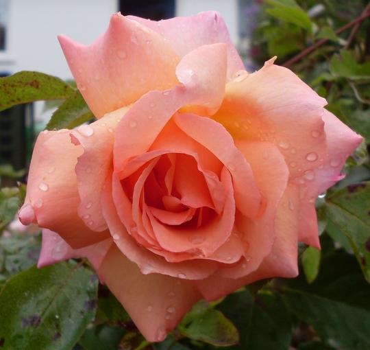 Climbing rose Compassion