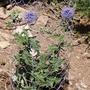 Echinops (Echinops bannaticus 'taplow blue')
