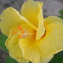 Hibiscus_005