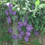 Clematis along back fence...sorry don't know name