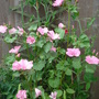 Lavatera grown from seed