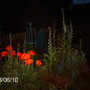 Night late spring border (Papaver orientale (Oriental poppy))