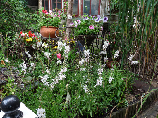Gaura plants in foreground