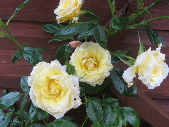 Second bloom for my yellow rose