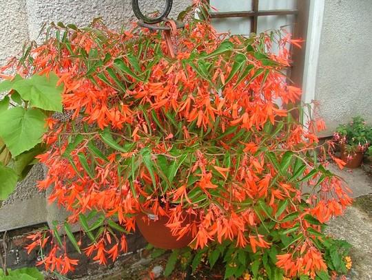 Begonia bonfire (Begonia bonfire)