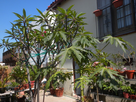 My Carica papaya 'Thai Dwarf' - Thai Dwarf Papaya (Carica papaya 'Thai Dwarf' - Thai Dwarf Papaya)
