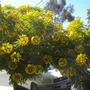 Cassia leptophylla  - Gold Medallion Tree (Cassia leptophylla  - Gold Medallion Tree)