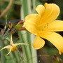 Hemerocallis 'Golden Zebra' and Epimedium 'Amber Queen'