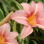 Hemerocallis 'Stoke Poges'