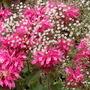 Monarda 'Pink Lace' infront of Gypsophila 'Schneeflocke'