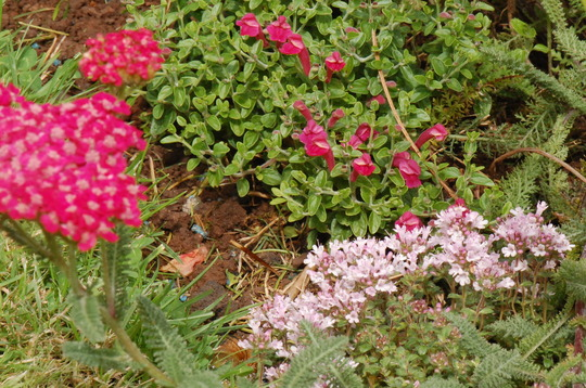 Achillea 'Rose Madder', Scutellaria 'Texas Rose' and a pink Thyme.