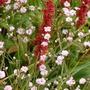 Gypsophila 'Rosenschleier' (a dwarf) and Persicaria 'Donald Lowndes' (a dwarf)