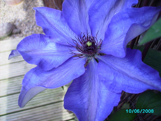 First flower on one of my clematis..