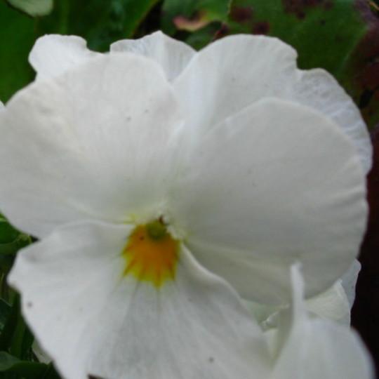 White Viola