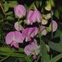 Sues perennial Sweet Pea (Lathyrus latifolius (Everlasting pea))