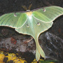 Luna Moth