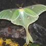 Moth_luna_male_6_09_08_exc_med