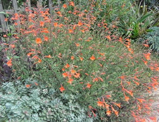 Zauschneria californica - 2011 (Zauschneria californica)