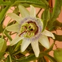 "Passion Flower - ""White Lightning"" (Passiflora caerulea (Passion flower))"