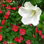 Tropical Hibiscus With Impatiens (Hibiscus Tropical White)