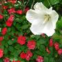 Hibiscus Tropical White
