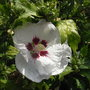 Hibiscus_syriacus_red_heart_2011